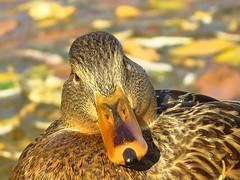 The Look (Swany6) Tags: birds oregon ducks mallards hens natureplus simplysuperb ringofexcellence blinkagain dblringexcellence tplringofexcellence magicmomentsinyourlife inspiringcreativeminds
