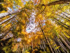Above my head (Paco CT) Tags: barcelona wood autumn fall yellow forest spain amarillo bosque otoo esp beech haya contrapicado lowangle hayedo 2013 manlleu pacoct vision:outdoor=0608 vision:plant=09