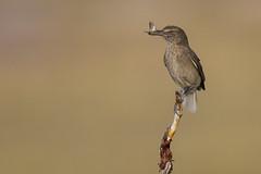 Black-billed Shrike-Tyrant - Agriornis montanus intermedius - Tomarapi, Sajama National Park, Bolivia
