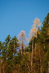 Last Gold on Alps 2013 (Cjasar) Tags: autumn alps fall leaves foglie forest photography gold europe fotografia larch larice autunno carnia alpi fau beech oro bosco friuli bosc faggio laris fril cjargne siarade