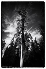 Height of Horror (chaayakaar) Tags: california ca blackandwhite bw tree night big yosemite sequoia