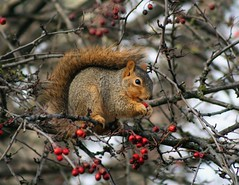Berry Feast (bulldog008) Tags: red wild brown tree cute nature face niger hair fur outdoors holding furry berry squirrel sitting berries natural feeding eating wildlife tail fluffy whiskers eat fox perch perched feed eastern hold hawthorn haw grasp haws sciurus
