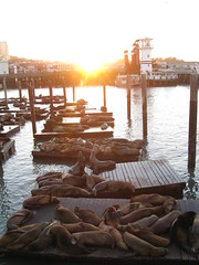 Seals @ Sunset - IMG_1342 (tend2it) Tags: ocean sunset sea usa sun nature water canon bay pier san francisco pacific lion area flare seals 39