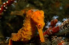 Orange Seahorse_ Blue Heron Bridge_ Jan 2014 9 (R13X) Tags: seahorse diving underwaterphotography philfoster blueheronbridge
