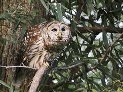 winter birds forest evening afternoon hunting owl hunter wetland barredowl 2014