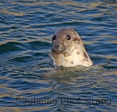 It's All Mine! (Sybalan,) Tags: sea fish harbour eating seal burghead morayshire