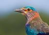 Indian Roller (Coracias benghalensis) (Gurusan2010) Tags: