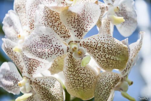 Sai Nam Phung Orchid - Chiang Mai