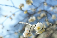 white apricot blossoms (naoko .*) Tags: japan     japaneseapricotblossoms weepingaprcottree japaneseumeblossoms