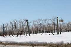 My Own Vineyard! (eyriel) Tags: winter snow cold nature vineyard vines wine vine winery grapes grape