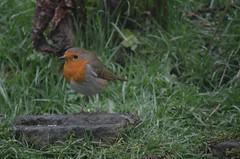 Beacon Fell- Robin (jacktoner) Tags: cloud tree bird robin birds misty photography woods photographer preston rbin moist rarebird d5100 nikond5100