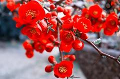 Rote Blten (Silaris Inc.) Tags: flower pflanze blume blte rosaceae chaenomelesjaponica japanischezierquitte rosengewchs smcdal1855mmf3556al
