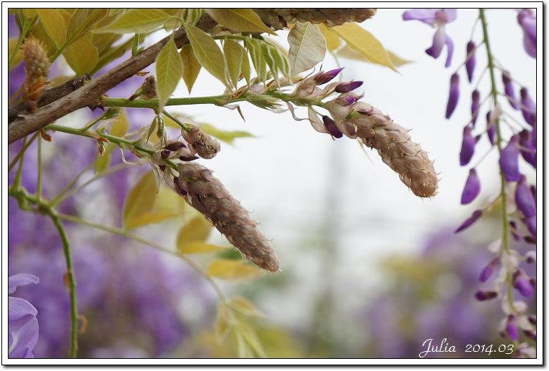 紫藤、老梅 (23)