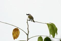 白頭翁 Photo