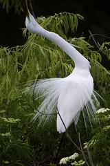 Great Egret Mating Dance (Chasing Photons) Tags: nature birds orlando natural florida wildlife charles wait greategret centralflorida ardeaalba realflorida cewait chasingphotons