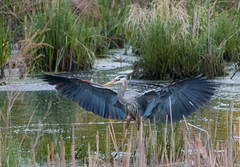 Wing Span (overthemoon3) Tags: sun bird landscape spring wildlife marsh migration blueheron egret