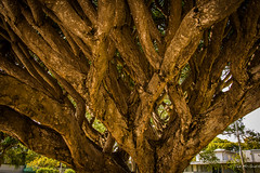2014 - Ft. Lauderdale - Canopy Support (Ted's photos - For Me & You) Tags: plant tree succulent florida treetrunk fortlauderdale trunk ftlauderdale drago dracaenadraco dragontree dragonbloodtree tedsphotos dracaenacinnabari