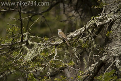 """Chipping Sparrow • <a style=""""font-size:0.8em;"""" href=""""http://www.flickr.com/photos/63501323@N07/14314294925/"""" target=""""_blank"""">View on Flickr</a>"""