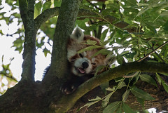 20150701_01 - Kleiner Panda (grasso.gino) Tags: bear cute nature animals zoo tiere nikon panda natur redpanda dortmund katzenbr br niedlich roterpanda d3000