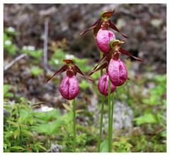 Belles, belles des sous-bois / Beautiful, Beautiful Glades On Explore (francepar95) Tags: plant orchid boisé sabotdelavierge cypripèdeacaule