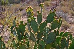 Cactus-Prickly-Pear (faungg's photos) Tags: arizona cactus plants green nature desert  saguaronationalpark