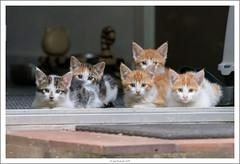 2015-06-27 215038 (JnHkstr) Tags: cats kittens poezen