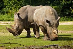 White rhinos (Foto Martien) Tags: africa holland netherlands dutch southafrica zoo kenya arnhem nederland safari burgers rhino zimbabwe afrika savannah botswana uganda grassland namibia geotag zambia veluwe burgerszoo mozambique safaripark a77 dierentuin gelderland dierenpark 70300 whiterhinoceros geotagging ceratotheriumsimum breitmaulnashorn rinoceronteblanco squarelippedrhinoceros witrenoster burgersdierenpark breedlipneushoorn witteneushoorn renoster zwaziland rhinocérosblanc weisesnashorn burgerssafari martienuiterweerd martienarnhem fotomartien slta77v sonyalpha77 geotaggedwithgps tamron70300mmf456sp koninklijkeburgerszoo