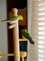 DSC_7842 (Jenny Yang) Tags: pet bird lady finch gouldian