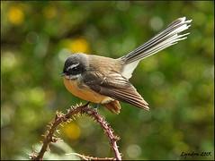53. An animal native to your area (150 Scavenger Hunt) (Lyndon (NZ)) Tags: newzealand bird nature animal forest bush fuji bokeh gimp nz waikato taupo fantail xs1 fujifilmxs1