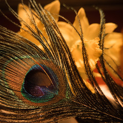 Peacock Feather (t conway) Tags: