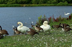 The lake at Elisabeth II Country Park (Eddie Crutchley) Tags: europe england northumberland ashington outdoor nature lake birds swans geese