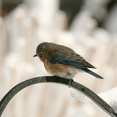 20170210-Blizzard (ChathamGardens) Tags: bluebird capecod chathamgardens blizzard birds snow chathamma
