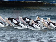 Pelicans (teressa92) Tags: pelicans large waterbirds sea feathers white black water impressive unison longbills wings