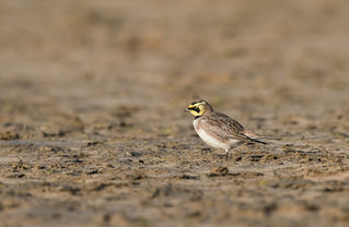 Shorelark Holkham Gap 18-02-2017-2049