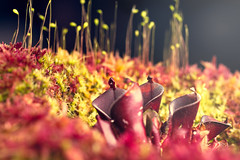 "Heliamphora minor ""Burgundy Black"" (Hejemoni (@fbauzonx on Instagram)) Tags: heliamphora minor burgundy black carnivorous pitcher plant moss green red complementarycolors strobist macro 105mm"