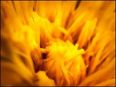 2017-067 Just Dandy (Darren Wilkin) Tags: dandelion flower yellow colour spring macro oneaday 365 weed