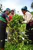 Tea picking (MelindaChan ^..^) Tags: haputale srilanka 斯里蘭卡 tea picker teapicker worker labor life people folks culture plantation green field plant agriculture woman lady
