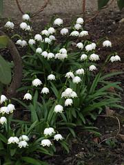 Zvončki / Snowdrops (Damijan P.) Tags: rože cvetje pomlad flowers spring slovenija slovenia prosenak zvončki snowdrops