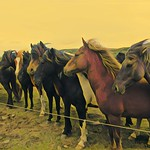 Iceland  ~ Icelandic Horses ~ Attraction Site thumbnail