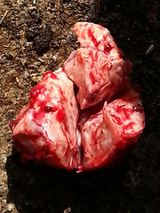Ginny the mastectomy (Rayya The Vet) Tags: cow angus bovine mastectomy farmvisit vetsurgery vetcallout