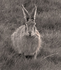 it was a dark ... and noisy ... night (glenfinlas) Tags: scotland hare dusk islay hebrides gloaming brownhare lepuseuropaeus