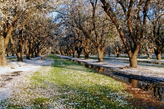 Orchard_4505-1 (jbillings13) Tags: california landscapes farming almond orchard orchards kerncounty almondorchard