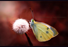 - posizione d'attesa - (swaily  Claudio Parente) Tags: nikon bokeh farfalla egna claudioparente swaily checchino bestcapturesaoi