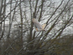 Hanging On Air (mdavidford) Tags: bird wings flight feathers barnowl glide chimneymeadows