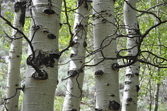 Birches (James Matuszak) Tags: trees white black green forest birch junelake 2013