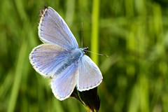 Common Blue (Jelltex) Tags: butterfly commonblue jelltex jelltecks