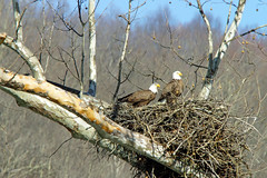 DSC00157 ARE YOU LISTENING FLICKR (Tammi Connard) Tags: nature ngc westvirginia eagles americanbaldeagle northamericanbirds coth newrivergorgenationalriver naturewatcher mountaineerphotomemories