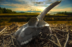 Fairlie Moor Skull Near Sundown (g crawford) Tags: sunset death skull riverclyde clyde sheep sundown moor arran crawford ayrshire fairlie clydecoast cumbrae firthofclyde northayrshire weecumbrae ayrshirecoast fairliemoor dalrymoor