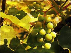 Grapes in the garden (MissyPenny) Tags: green leaves garden pennsylvania grapes kodakz990 pdlaich