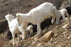 A ewe and lamb group in Denali National Park (AlaskaNPS) Tags: park monument national cape service monitoring biological denalinationalparkandpreserve krusenstern lakeclarknationalpark dallssheep wrangellsteliasnp kobukvalleynationalpark gatesofthearcticnationalparkandpreserve